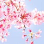 4月1日、一緒に日本の春とお花を愉しみませんか?